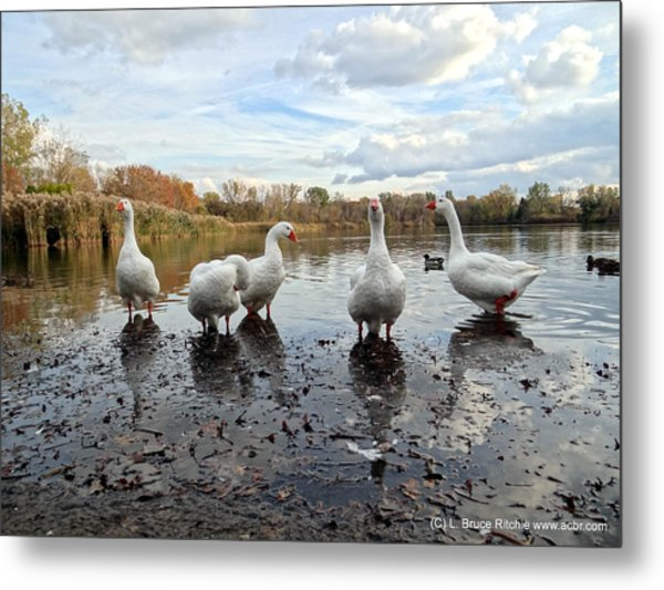 A Gaggle Of Geese 1 Metal Print