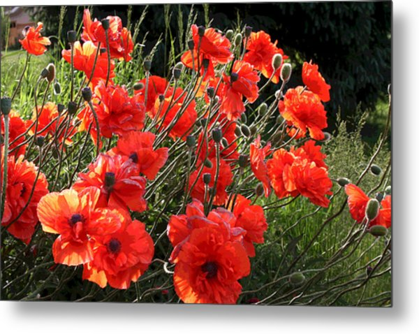 A Gathering Of Poppies Metal Print