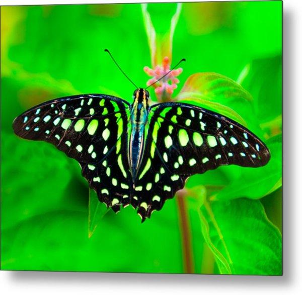 A Green Butterfly Metal Print