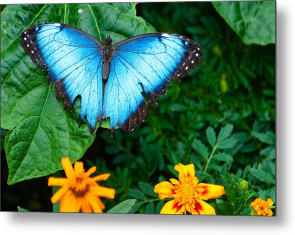A Large Blue Butterfly Metal Print