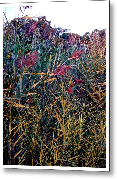 A Long Island Saltwater Grass In Bloom Metal Print
