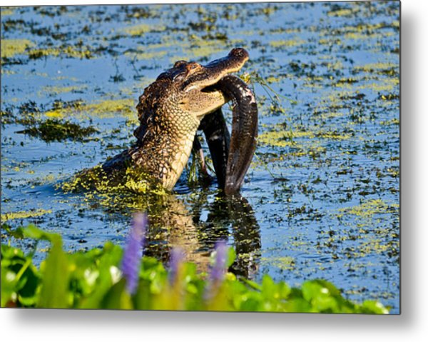 A Meal Fit For A Gator Metal Print by Julio n Brenda JnB
