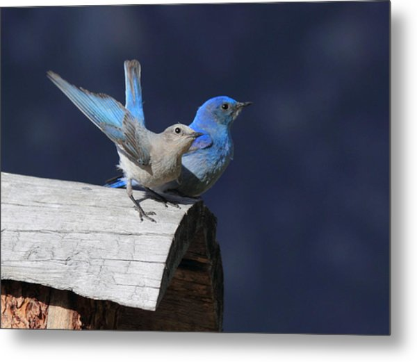 A Pair Of Bluebirds Metal Print