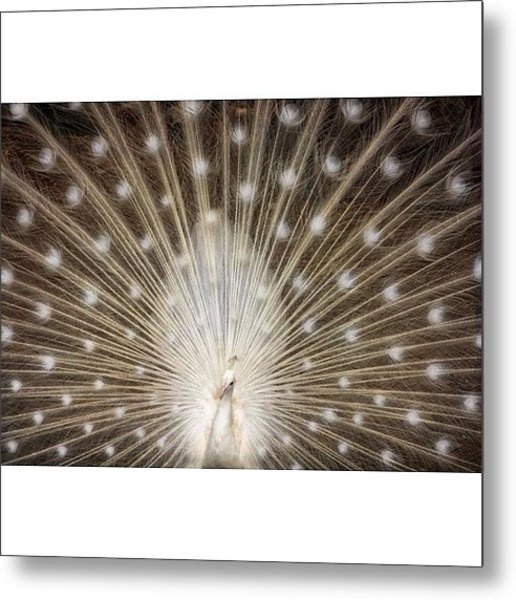 A Rare White Peacock In Full Display Metal Print
