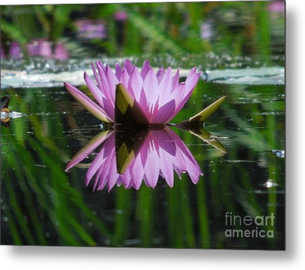 A Reflection Of A Fuchsia Water Lily Metal Print