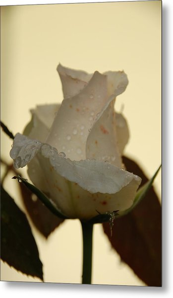A Single White Rose Metal Print