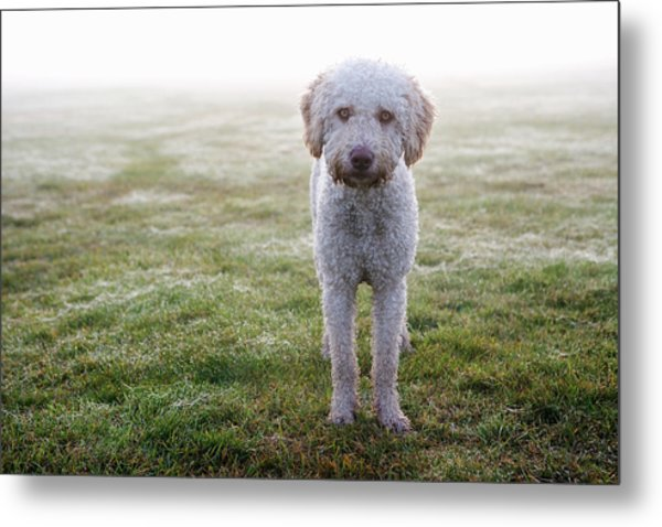 A Spanish Water Dog Standing A Field Metal Print