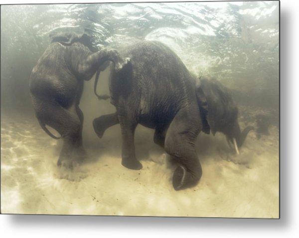 African Elephants Swimming Metal Print by Peter Scoones