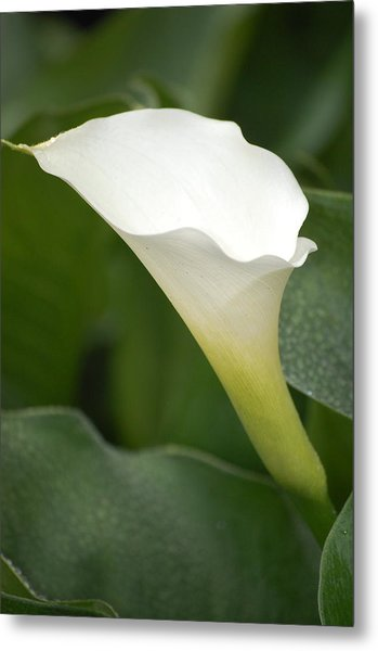 Afternoon Lily II Metal Print by Dickon Thompson