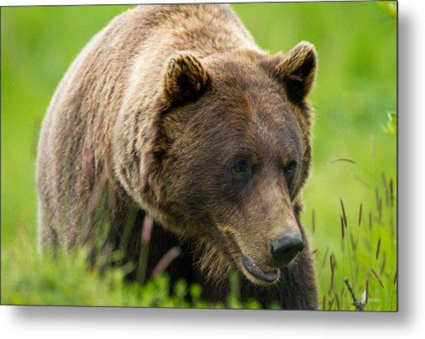 Alaskan Grizzly Metal Print