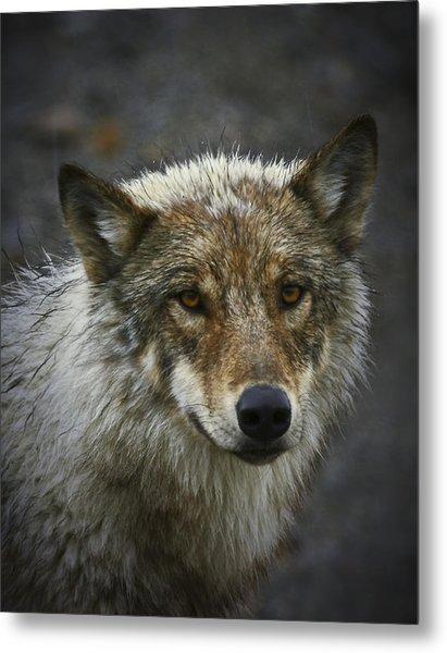 Alaskan Wolf Metal Print