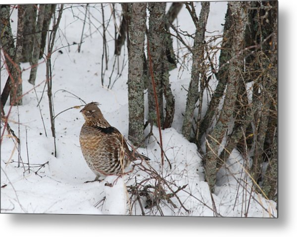 Alert Grouse  Metal Print