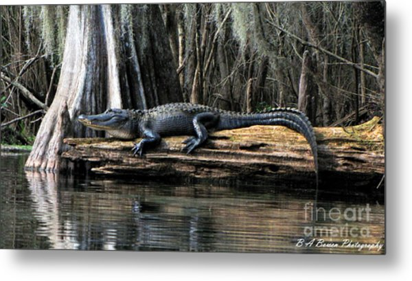 Alligator Sunning Metal Print