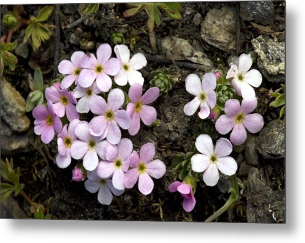 Alpine Rock-jasmine (androsace Alpina) Metal Print by Bob Gibbons
