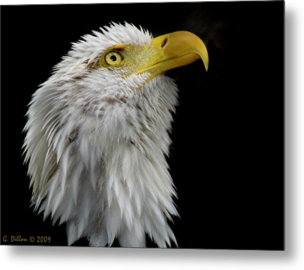 Metal Print featuring the photograph American Bald Eagle Head Shot by Grace Dillon