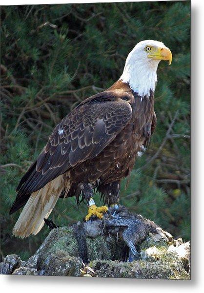 American Bald Eagle Metal Print by Kathy Eastmond
