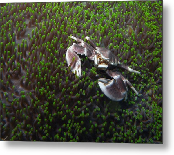 Anemone Crab Metal Print by Ted Papoulas