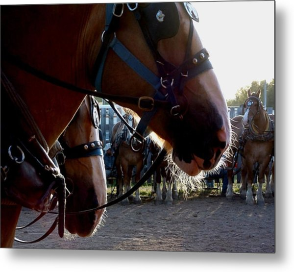 Animals Draft Horse Pull Metal Print