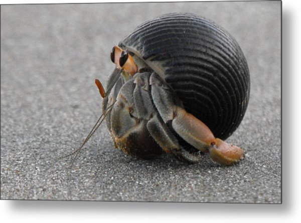 Animals Hermit Crab At Curu Metal Print