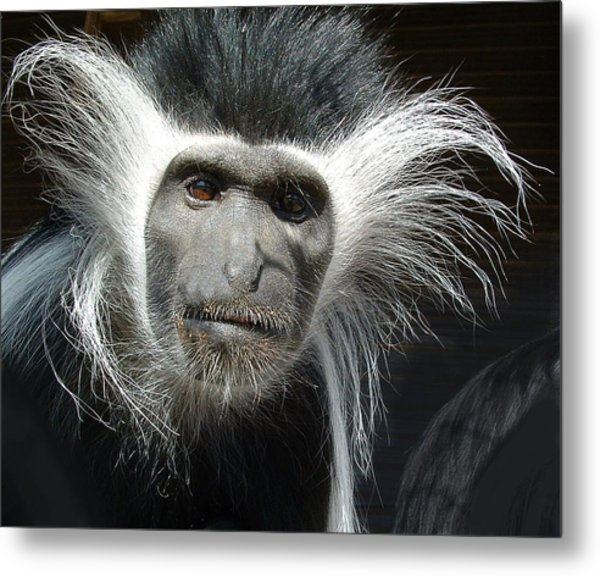 Animals Parent Male Colobus Staring Down Metal Print