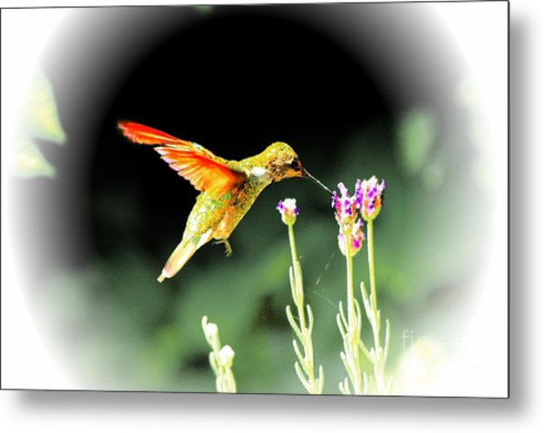 Anna Humming Bird  Metal Print by Paul Baker