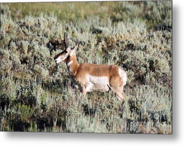 Antelope In Lamar Valley Metal Print