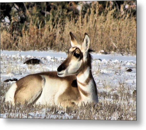 Antelope In Wintertime Metal Print by Marion Muhm