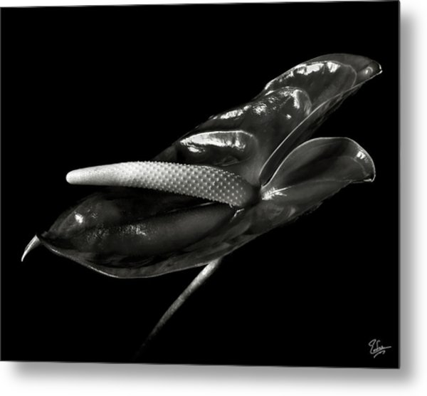 Anthurium In Black And White Metal Print