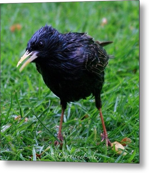 Anything For Me? Starling -one Of A Metal Print
