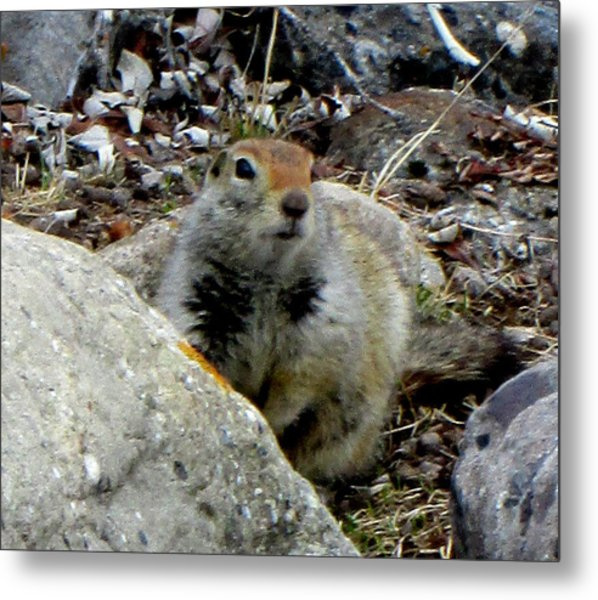 Arctic Ground Squirrel Metal Print by Mark Caldwell