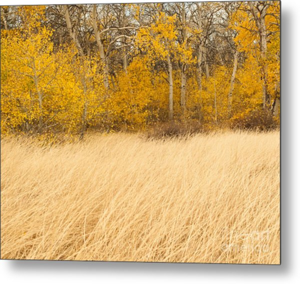 Aspen And Grass Metal Print