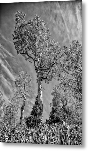 Aspen In The Sky Bw Metal Print by Mitch Johanson