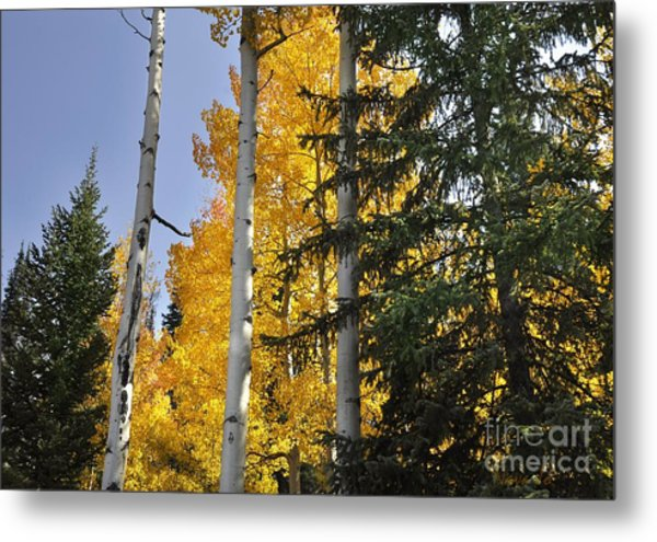 Aspens High In The Sky Metal Print by Nava Thompson