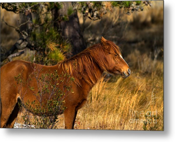 Assateague Wild Pony Metal Print