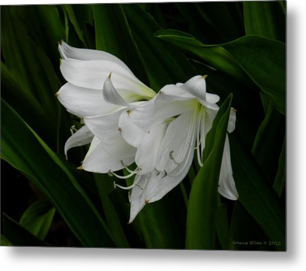 Metal Print featuring the photograph Atamasco Lily by Grace Dillon