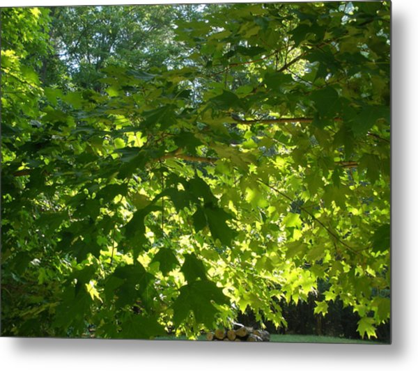 August Leaf Canopy Metal Print by Suzanne Fenster