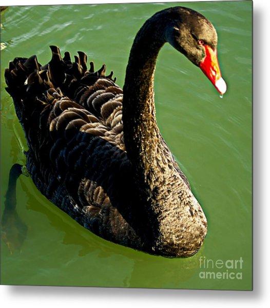 Australian Black Swan Metal Print