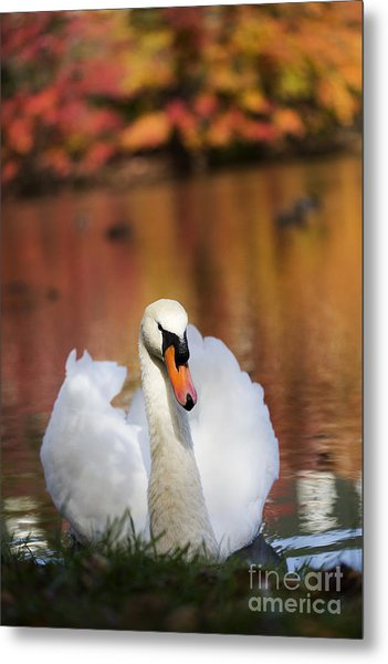 Autumn Swan Metal Print by Leslie Leda