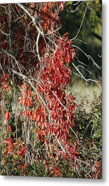 Autumns Red Vines Metal Print