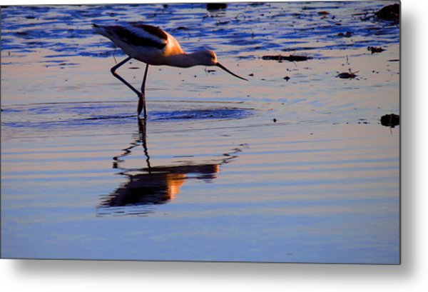 Avocet In The Dim Light Metal Print by Catherine Natalia  Roche