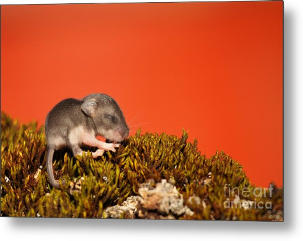 Baby Deer Mouse On Moss Metal Print by Max Allen