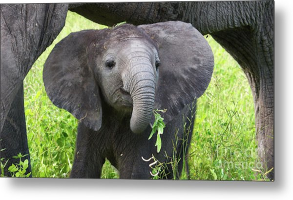 Baby Elephant With A Twig Metal Print