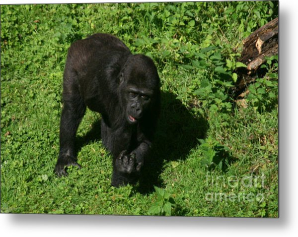 Baby Gorilla Find Own Feet Metal Print by Carol Wright