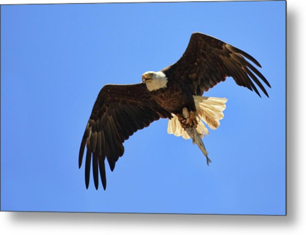 Bald Eagle Catch Metal Print