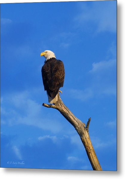 Bald Eagle Sitting High Metal Print