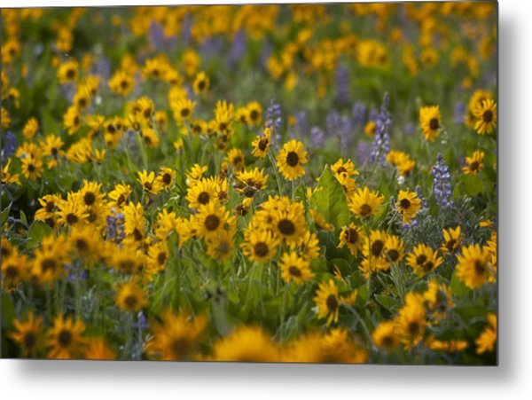 Balsamroot And Lupine Metal Print