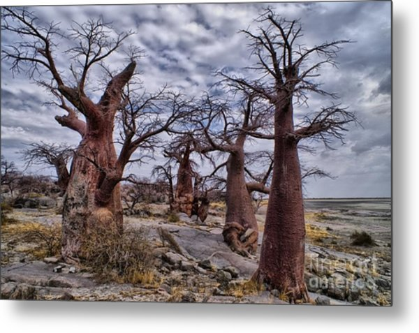 Baobab Trees At Kubu Island Metal Print