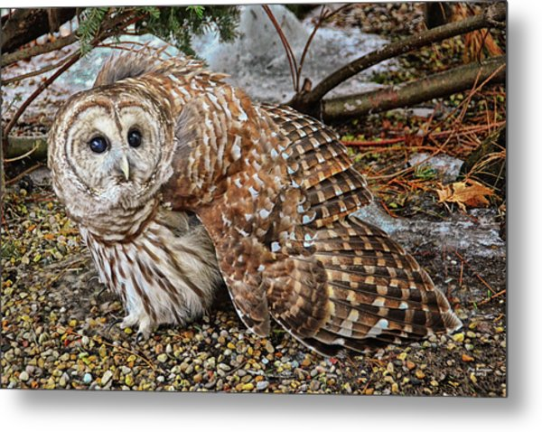 Barred Owl Warning Metal Print