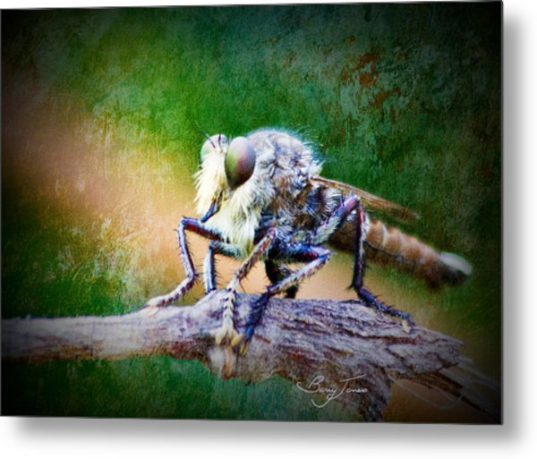 Bearded Robber Fly Metal Print by Barry Jones