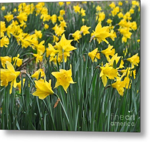 Beautiful Daffodil Field Floral Print Metal Print